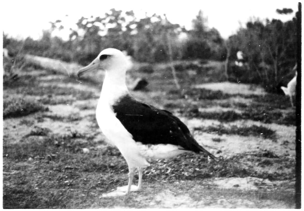 The Midway Island Gooney Bird