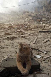 Tiger soft toy amongst Beirut bomb damage